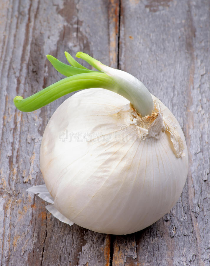 Sprouted Onion. Big White Onion Sprouted with New Green Stems isolated on Rustic Wooden background royalty free stock photos