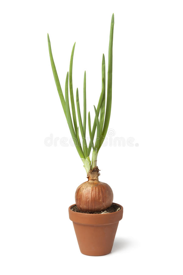 Sprouted onion growing in a plant pot. On white background royalty free stock photo
