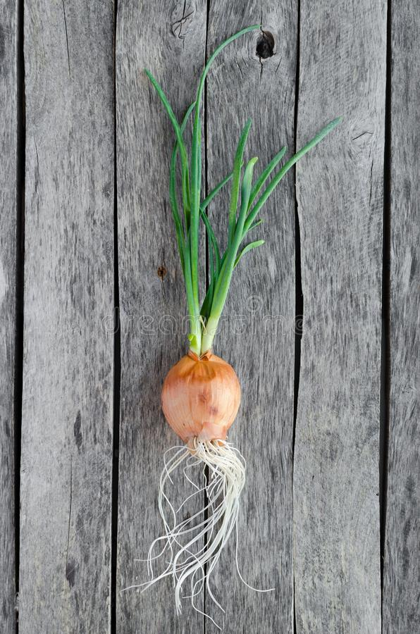 Sprouted onion head on old wooden background. Close up stock image