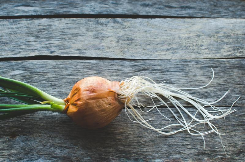 Sprouted onion head on old wooden background. Close up royalty free stock photos