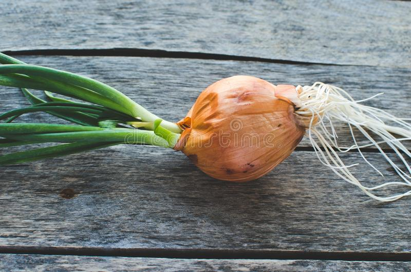Sprouted onion head on old wooden background. Close up royalty free stock photo