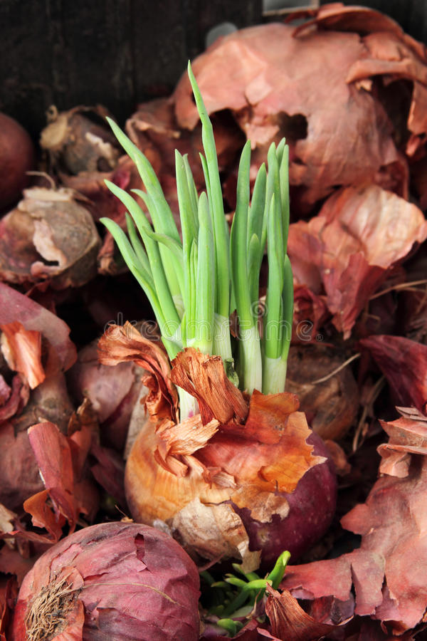 Sprouted onion royalty free stock photo