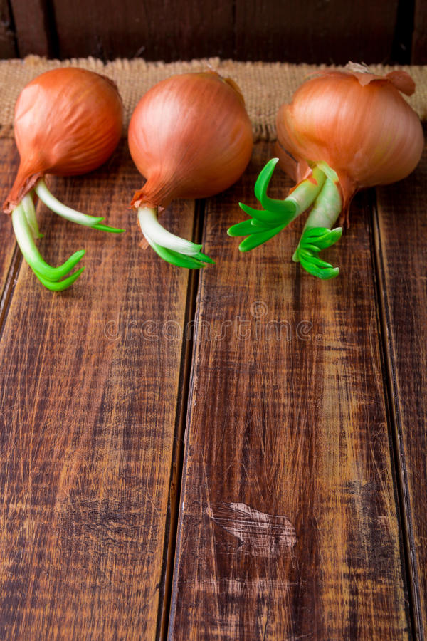 Sprouted onion on wooden background. Copy space. Frame. Sprouted onion on wooden background. Copy space. Frame stock image