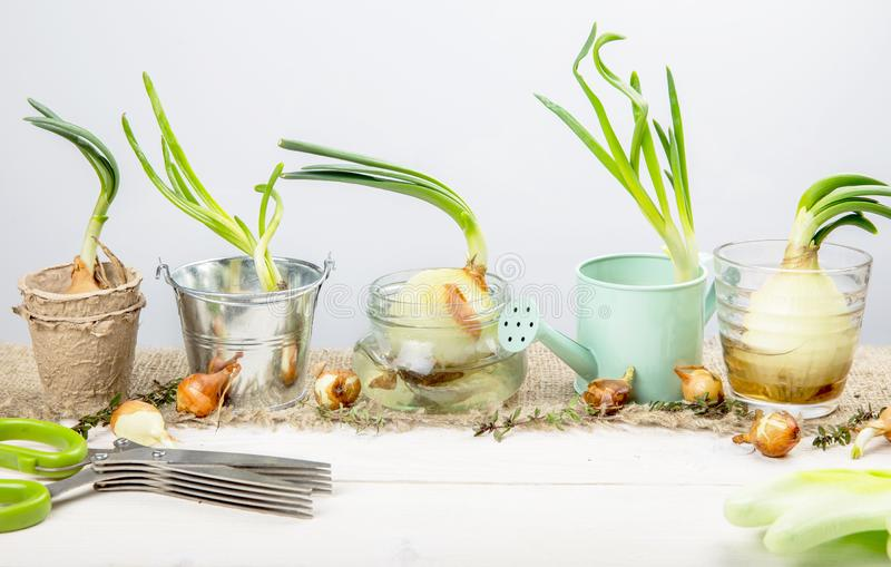 Sprouted onions on a white wooden table with garden tools. The concept of hobby gardening.  stock images