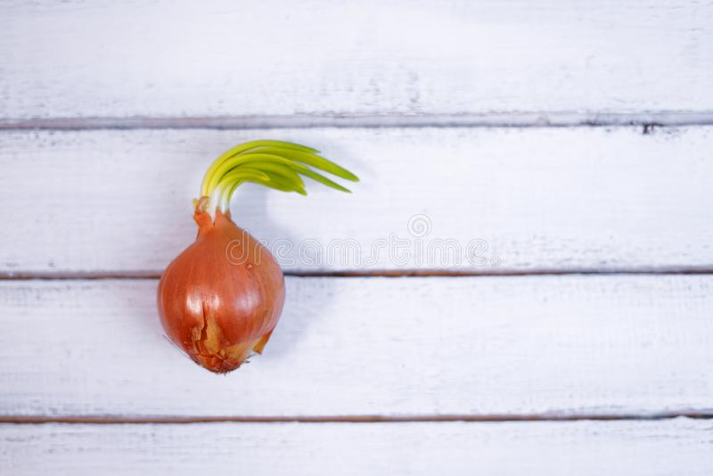 Sprouted orange onion and not planted in soil, closeup on wood backround stock photography