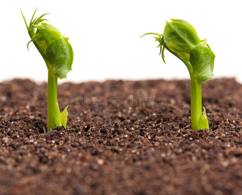 Sprouted peas. In organic soil over white background stock images