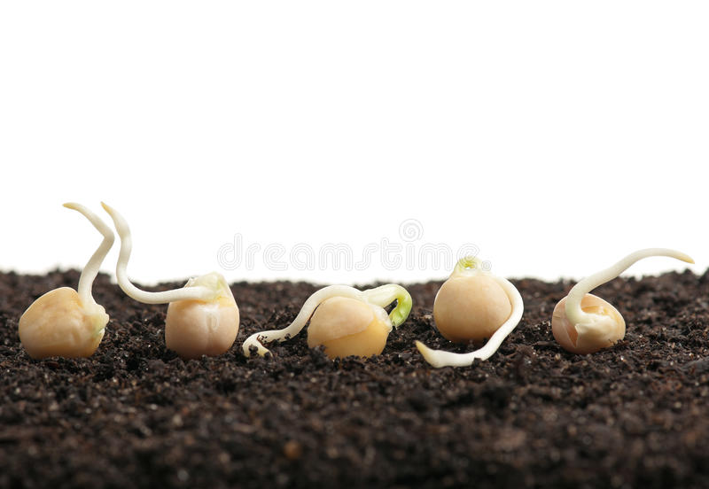 Sprouted peas royalty free stock images