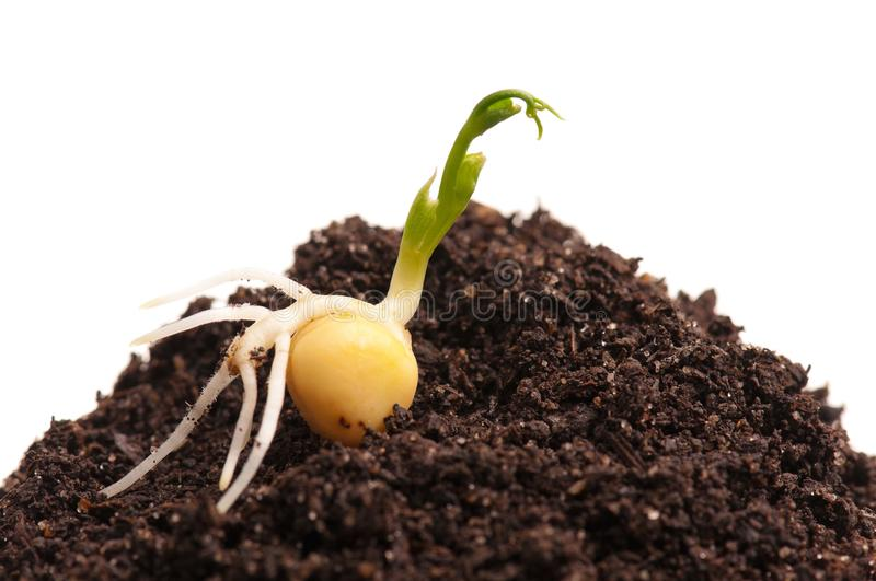 Sprouted peas. Sprouted yellow peas on organic soil over white background stock photos