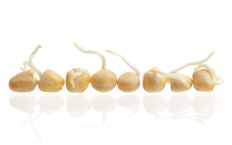 Sprouted peas. Sprouted yellow peas rowed isolated on white background stock images