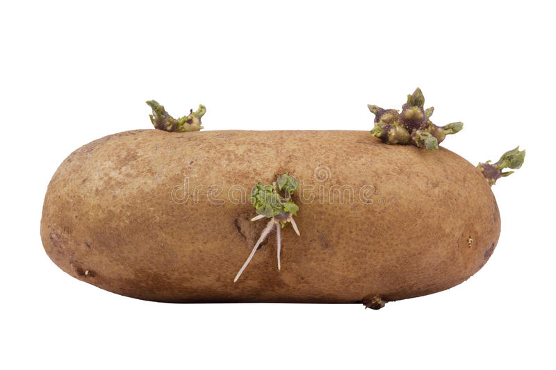 Sprouted Potato royalty free stock images
