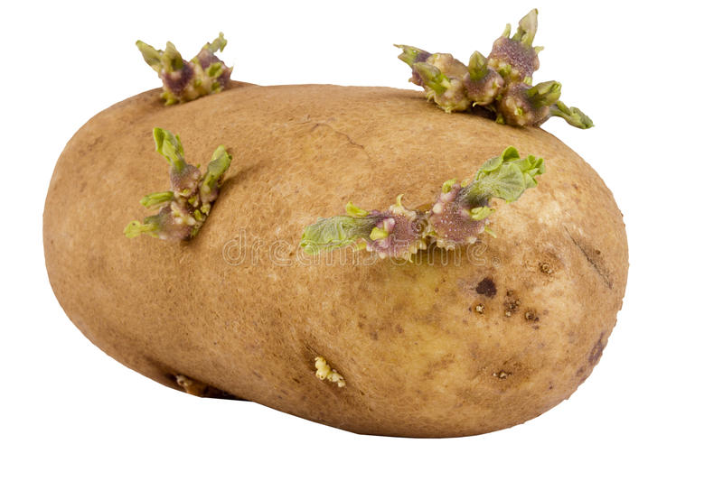 Sprouted Potato. Sprouted brown potato isolated on a white background stock photos