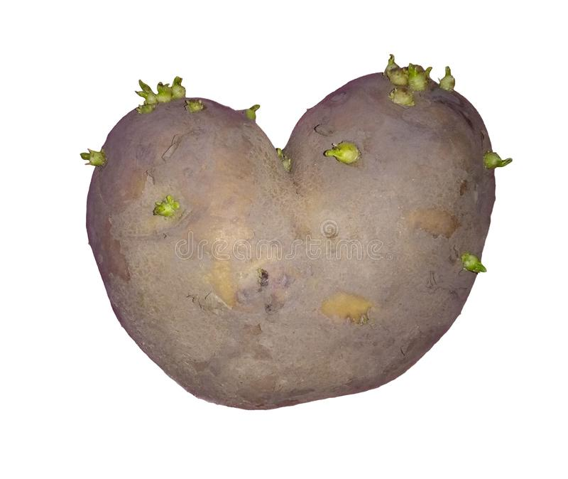 Sprouted potato heart. Heart shaped sprouted potato with green buds royalty free stock image