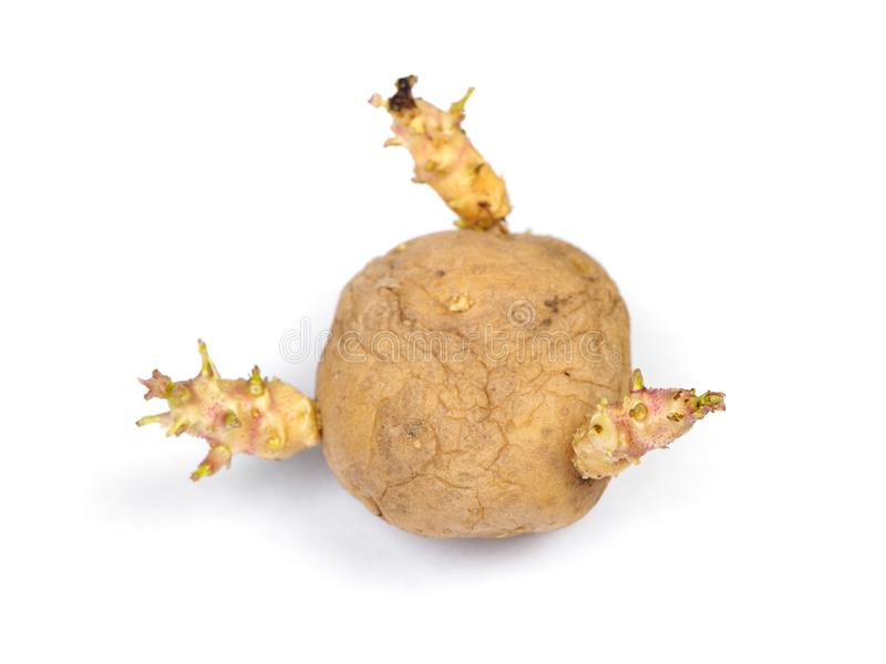 Sprouted potato isolated stock images