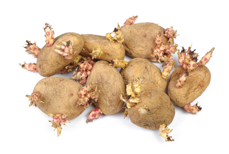 Sprouted potatoes isolated. On white royalty free stock photos