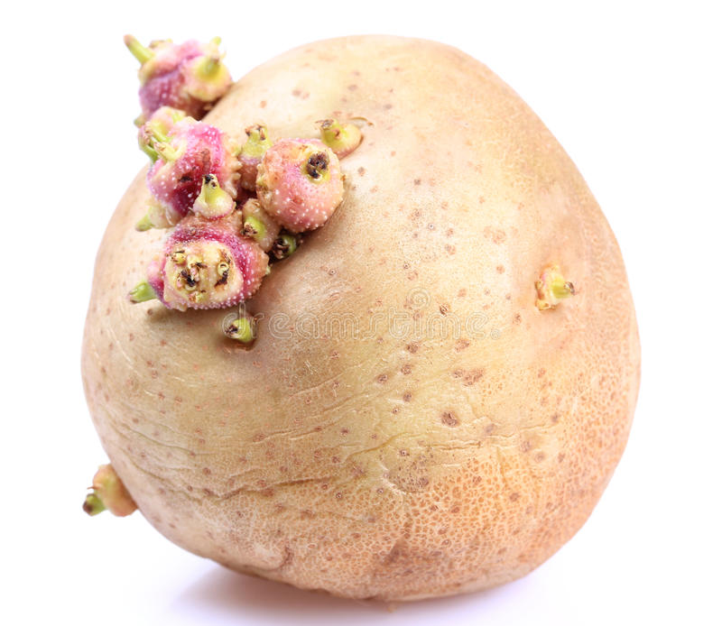 Sprouted potatoes. On a white background royalty free stock photography