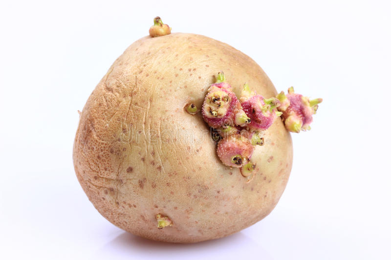 Sprouted potatoes. On a white background royalty free stock image