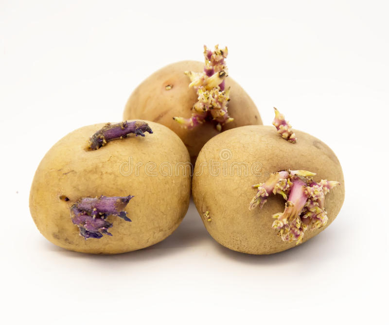 Sprouted potatoes. Wrinkled sprouted potatoes on a white background royalty free stock images