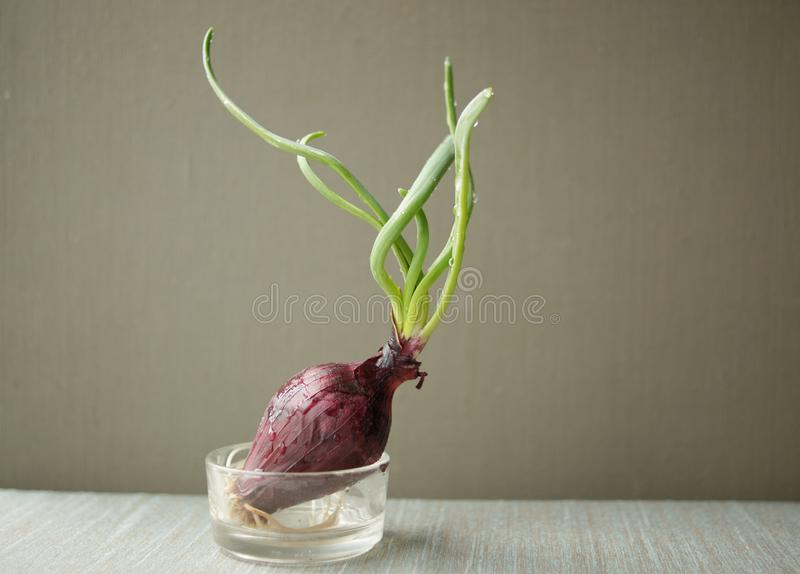 Red onion sprouted with roots, spring fresh vegetables royalty free stock photos