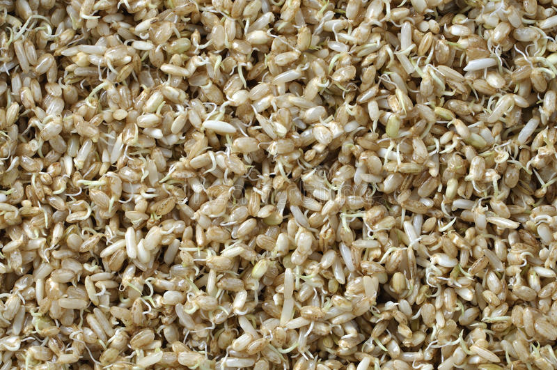 Sprouted rice. Macro closeup of moist sprouted brown rice grains stock photography