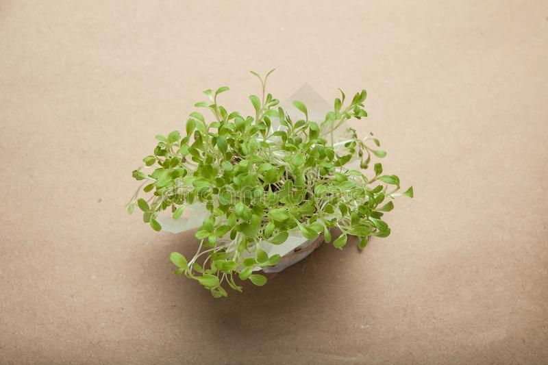 Sprouted salad seeds, micro greens on a brown paper background royalty free stock image