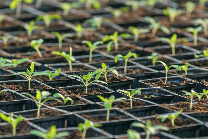 Sprouted Tomato. Potted Tomato Seedlings Green Leaves. Greenhouse production royalty free stock image