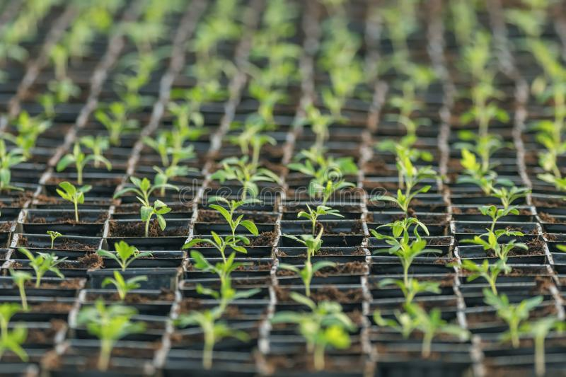 Sprouted Tomato. Potted Tomato Seedlings Green Leaves. Greenhouse production stock photography