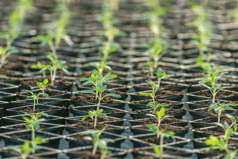 Sprouted Tomato. Potted Tomato Seedlings Green Leaves. Greenhouse production royalty free stock photo