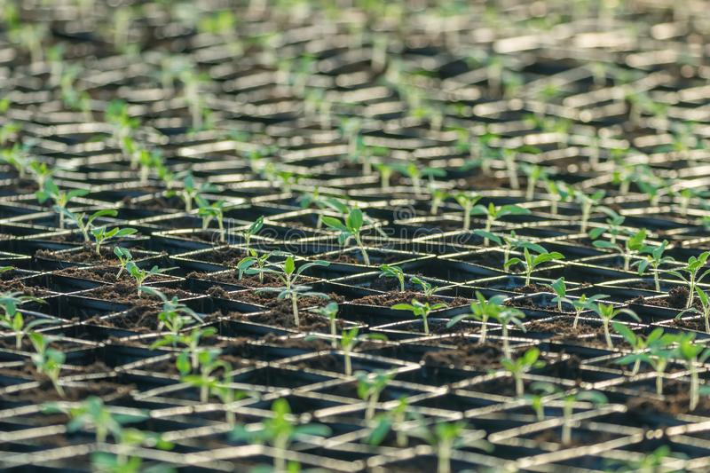 Sprouted Tomato. Potted Tomato Seedlings Green Leaves. Greenhouse production royalty free stock photography