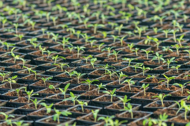 Sprouted Tomato. Potted Tomato Seedlings Green Leaves. Greenhouse production royalty free stock images