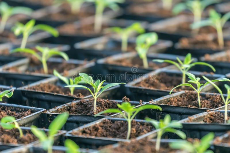 Sprouted Tomato. Potted Tomato Seedlings Green Leaves. Greenhouse production stock images