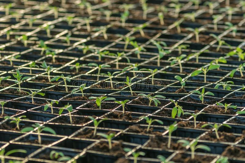 Sprouted Tomato. Potted Tomato Seedlings Green Leaves. Greenhouse production stock image