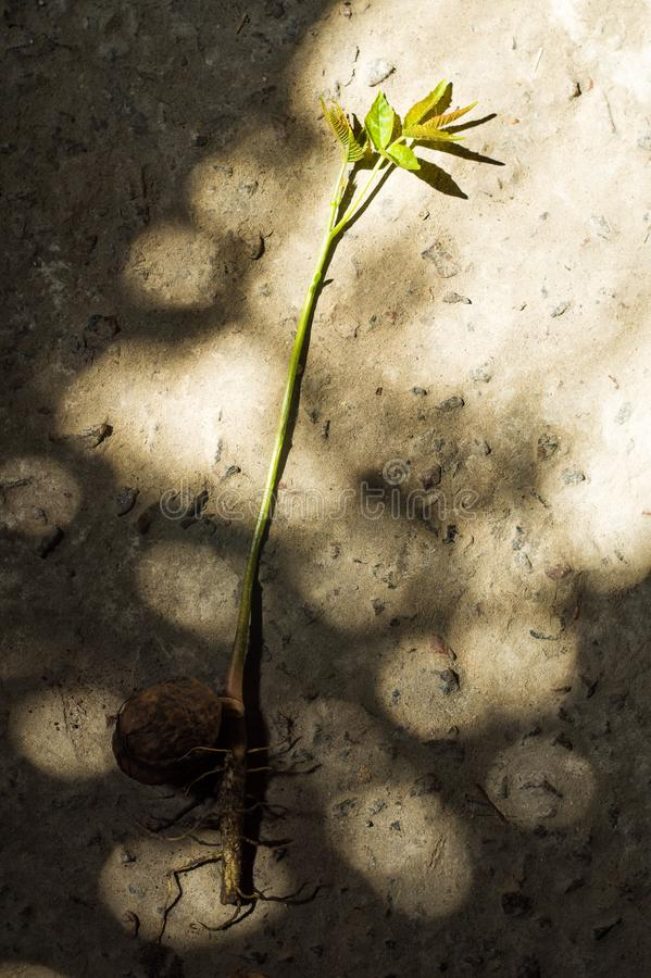 Sprouted walnut with roots and leaves. On the stone floor royalty free stock image