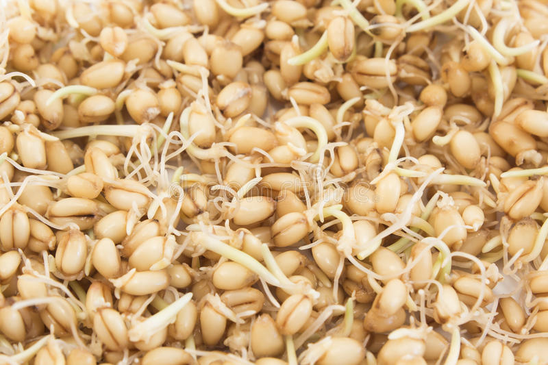 Sprouted Wheat as a Background. Close Up stock images