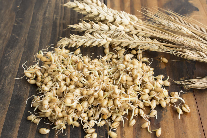 Sprouted Wheat. And Ear of Wheat on Rustic Wooden Background stock photo
