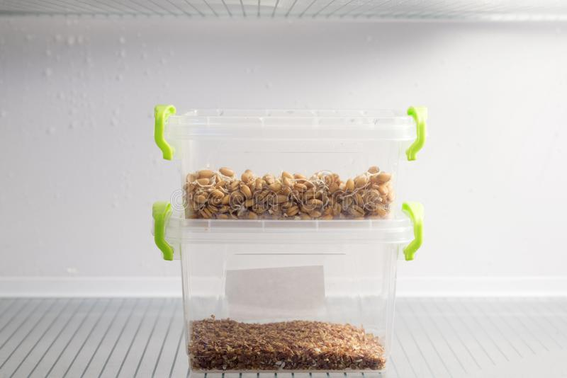 Sprouted wheat and flax and sesame seeds in a plastic container in the refrigerator, the topic of healthy nutrition royalty free stock image