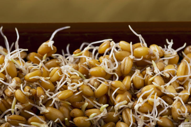 Sprouted wheat grains. A small handful of sprouted wheat grains stock images
