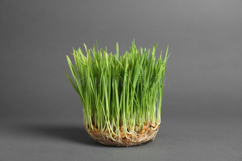 Sprouted wheat grass seeds on grey. Background royalty free stock image