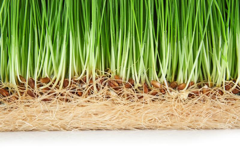 Sprouted wheat grass on white background, closeup royalty free stock photography
