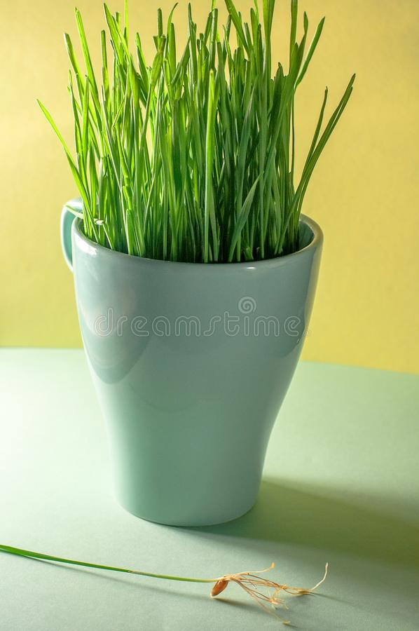 Sprouted wheat in a green cup. And a seed with a root stock image