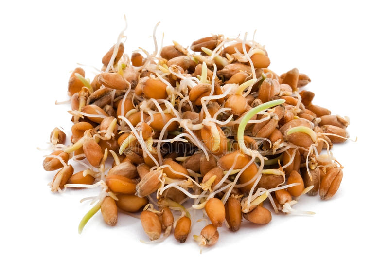 Sprouted wheat seeds stock photography