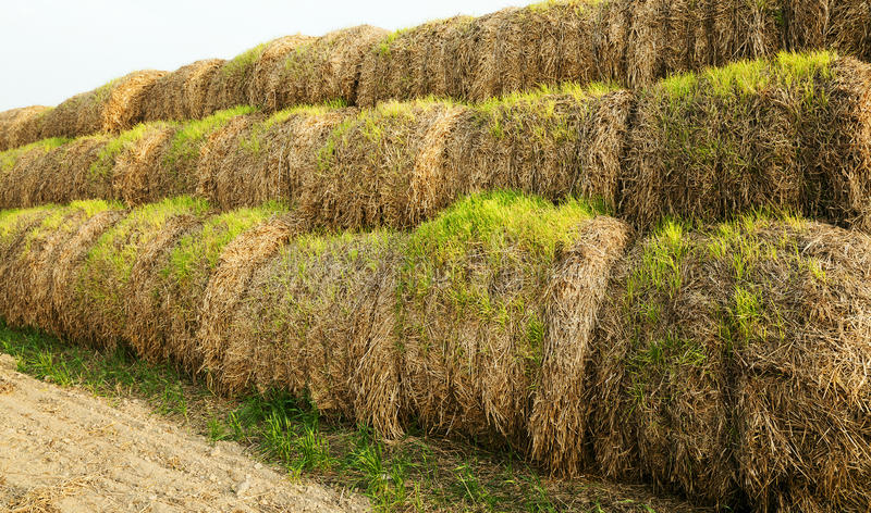 The sprouted wheat. Wheat sprouts which sprouted on the stacks of straw put after cleaning of a crop stock images