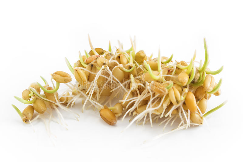 Sprouted wheat on a white background.  stock images