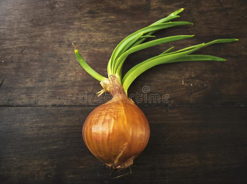 A sprouted white onions on rustic wood royalty free stock images