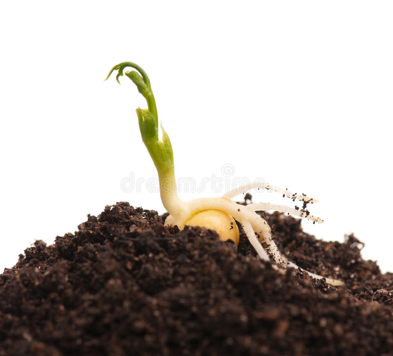 Sprouted yellow pea. On organic soil with young plant over white background stock image