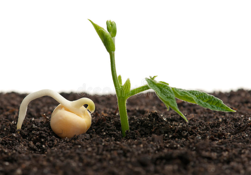 Sprouted yellow pea. Sprouted peas in organic soil over white background stock photos