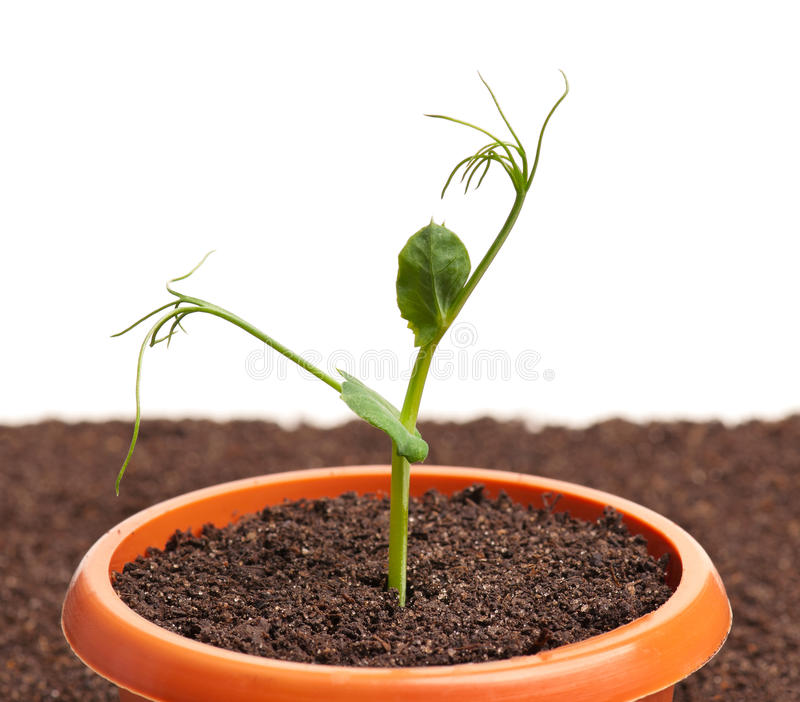 Sprouted young plant. In the organic soil background isolated over white background stock images