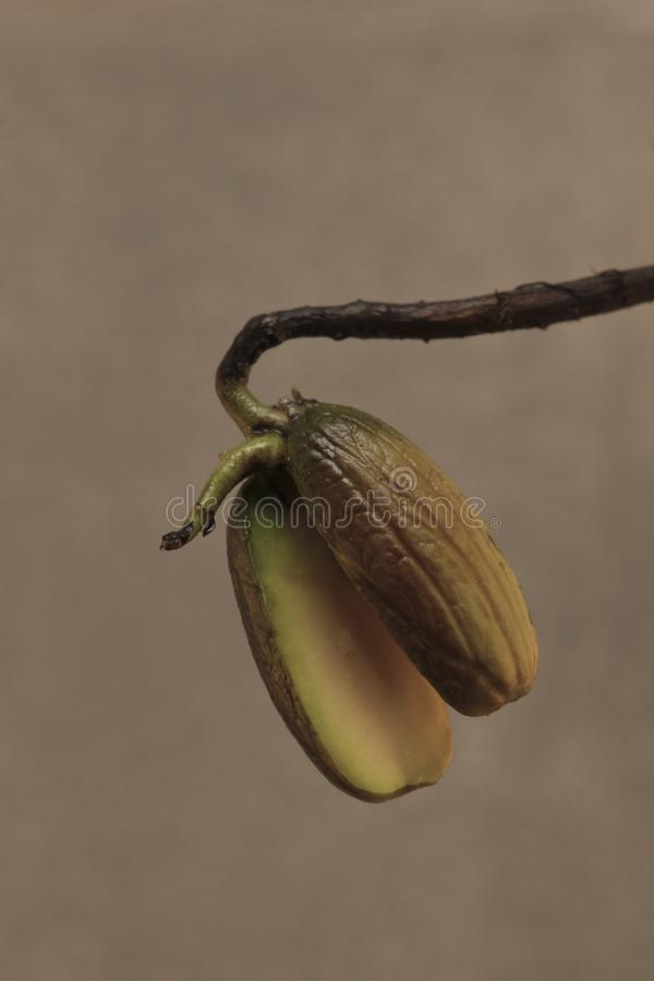 Sprouting acorn oak fruit on a light background stock photos