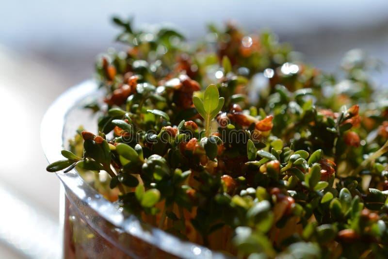 Sprouting Cress Lepidium sativum royalty free stock photography