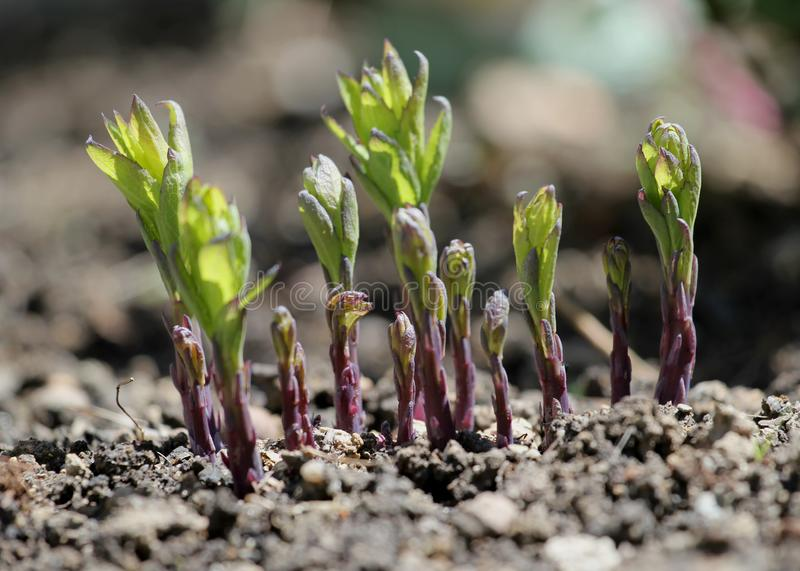 Sprouting flower during spring, germinating stock photos