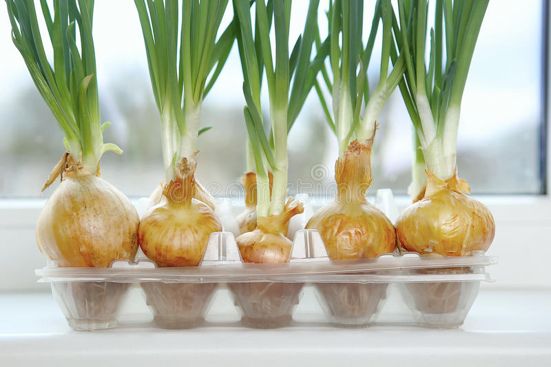 Sprouting green onions in eggs plastic package. Recycling idea. royalty free stock photography